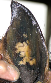 A pony's ear with sore white patches