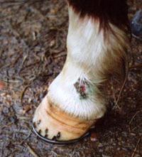 A pony's leg showing sores and scabs, which were caused by the wet and mud - a horse skin problem that can occur during a wet winter