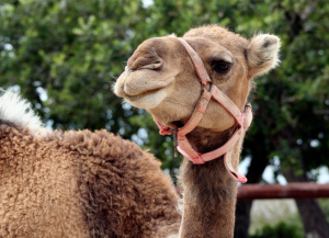 A camel with a halter. Camels have benefited from Camrosa for dry, itchy skin.